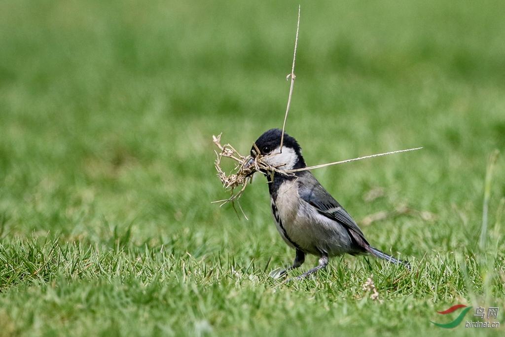 小小飞鱼筑巢忙-广西版Guangxi鸟网小山雀国际幼儿园图片