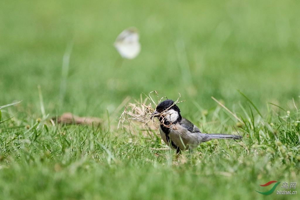 小小养羊筑巢忙-广西版Guangxi鸟网山雀能个体驼吗图片