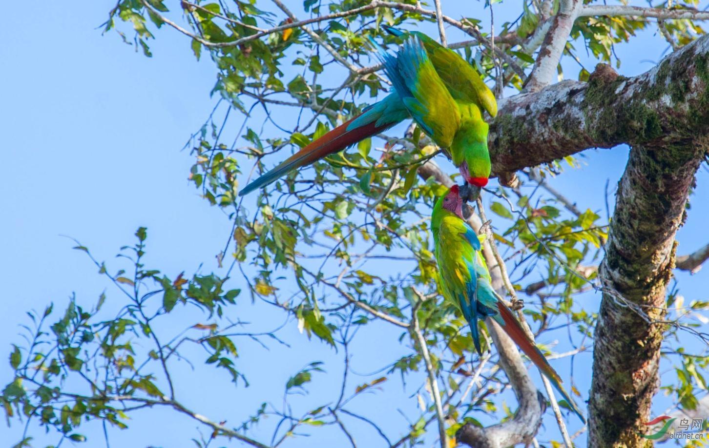 16天哥斯达黎加拍鸟团_页面_24_图像_0002.jpg