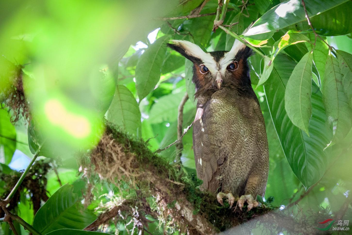 16天哥斯达黎加拍鸟团_页面_24_图像_0001.jpg