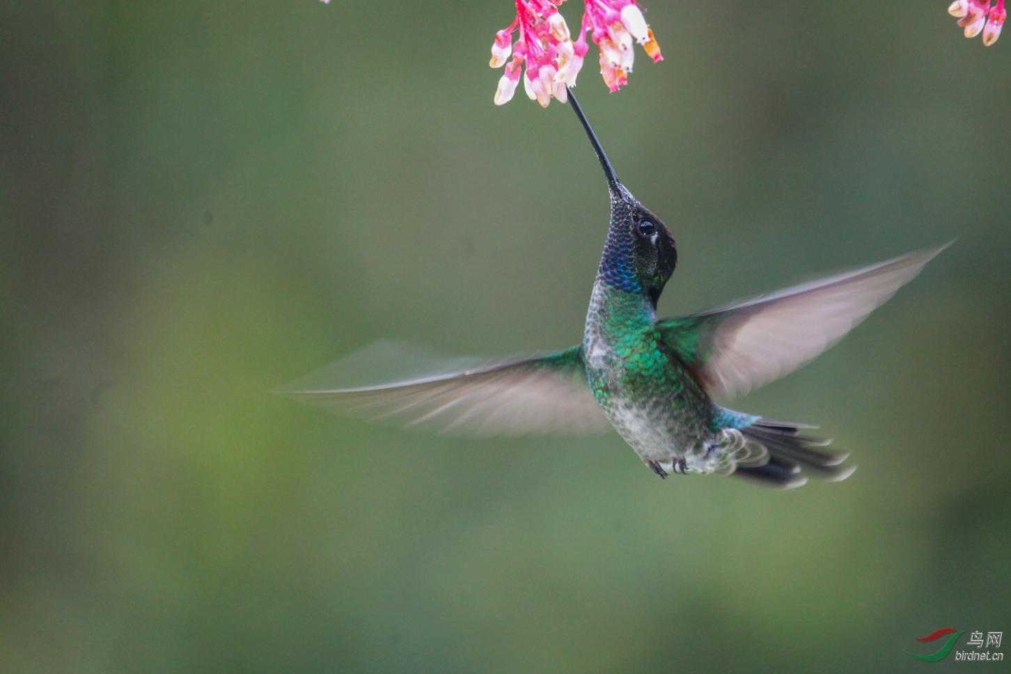 16天哥斯达黎加拍鸟团_页面_35_图像_0001.jpg