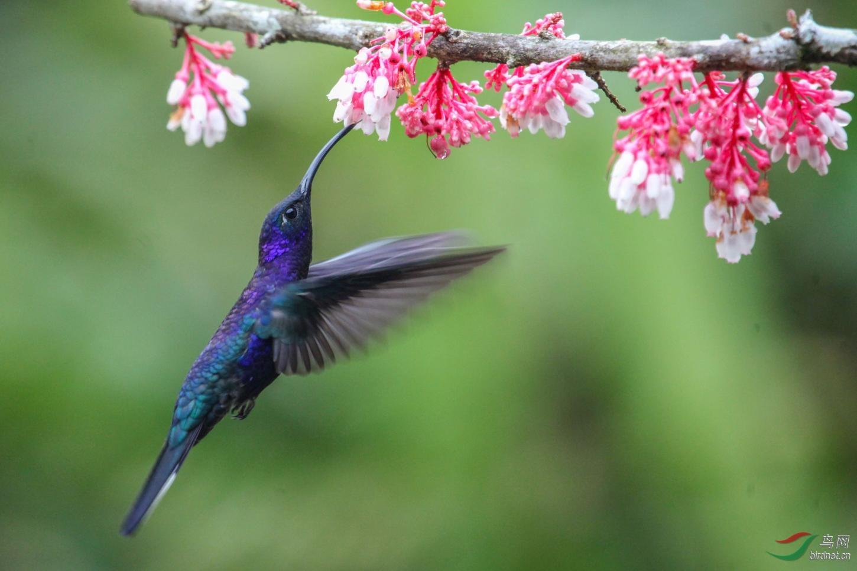 16天哥斯达黎加拍鸟团_页面_35_图像_0002.jpg