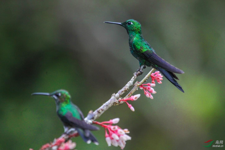 16天哥斯达黎加拍鸟团_页面_36_图像_0001.jpg