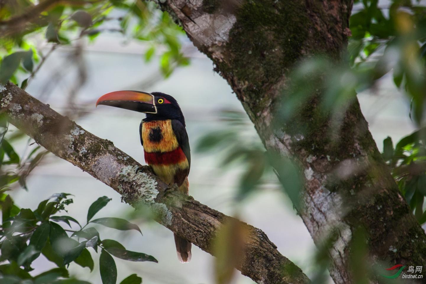 16天哥斯达黎加拍鸟团_页面_55_图像_0002.jpg
