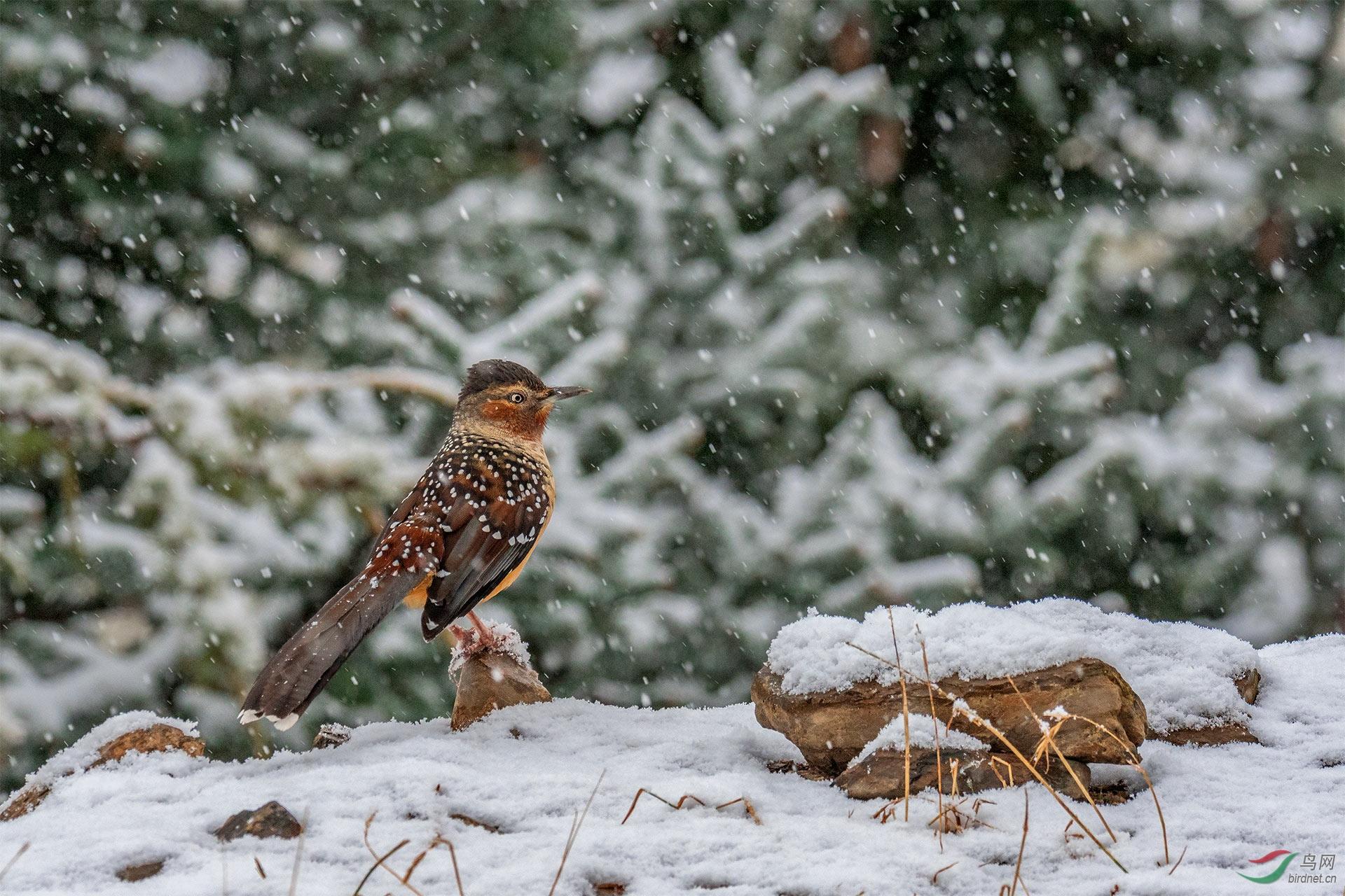 大雪纷飞 - 广西版 Guangxi 鸟网