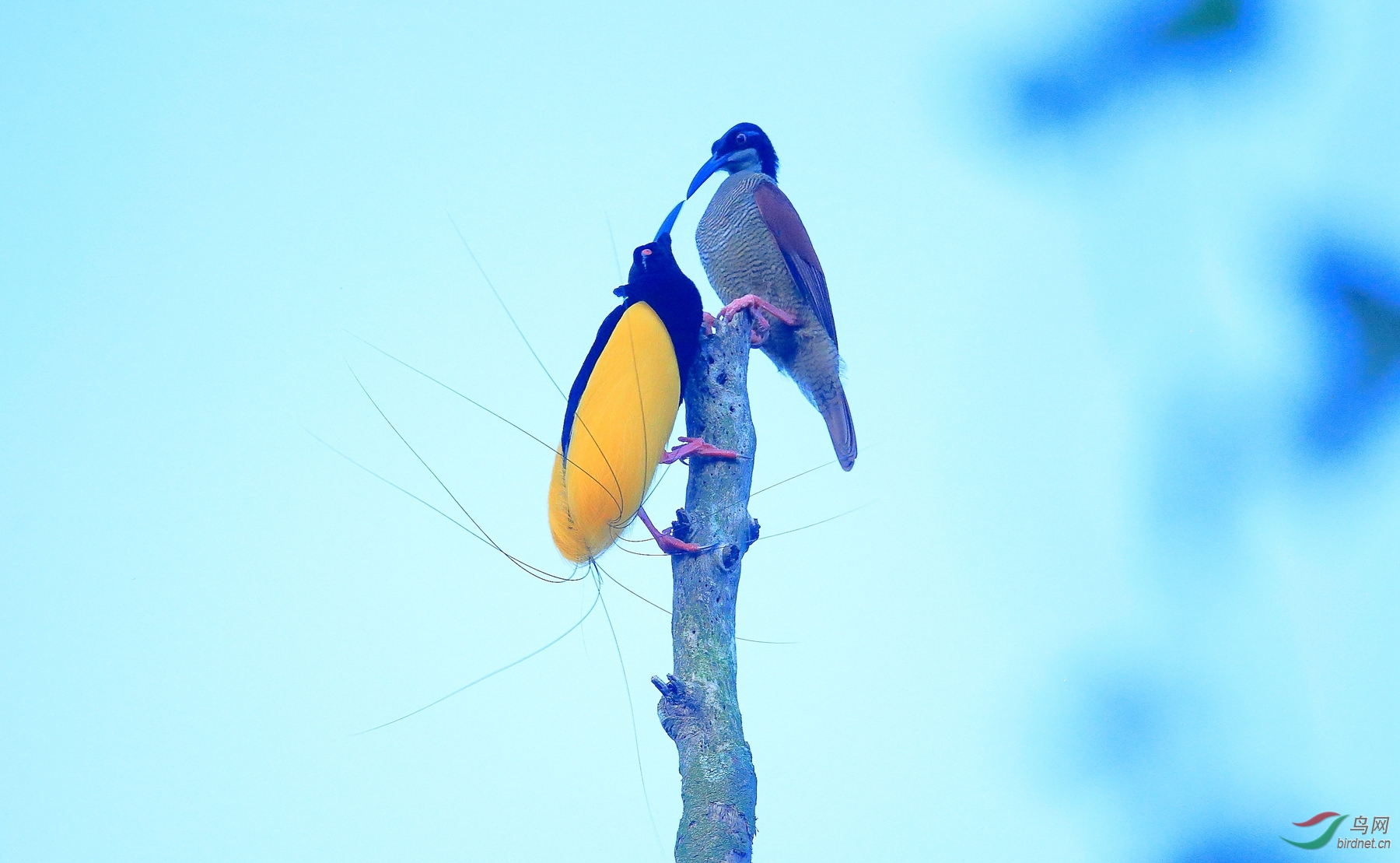 十二线风鸟Twelve-wired Bird-of-Paradise.jpg
