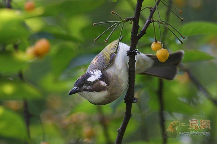 樱桃树上的鸟儿图片