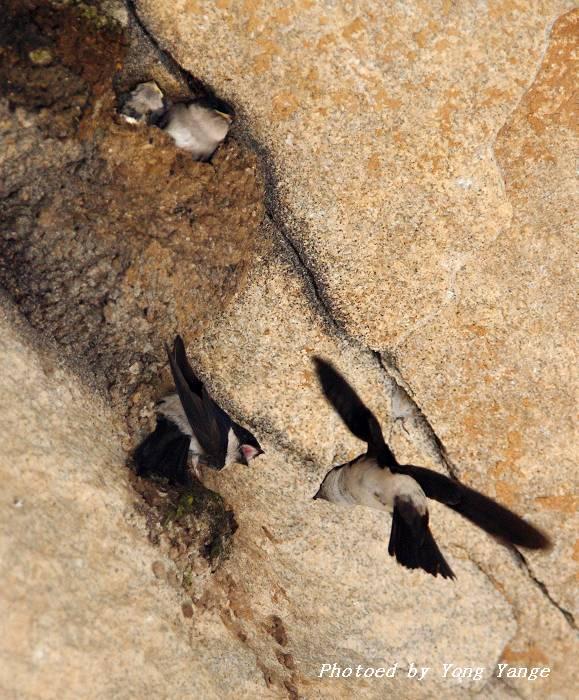 灰喉针尾雨燕新记录高清图片