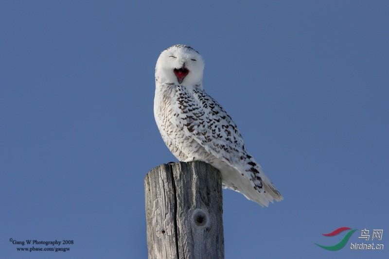 2018年加拿大雪鸮等摄影活动召集