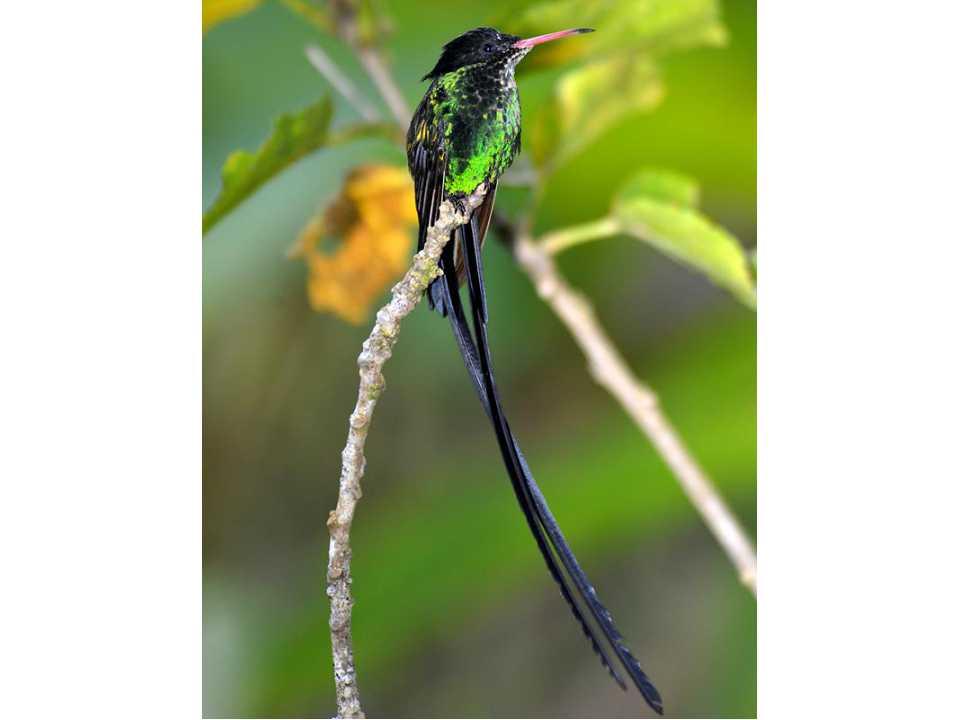 牙买加,开曼群岛,古巴拍鸟18天团