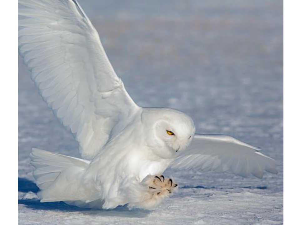 加拿大雪鸮白头海雕十天专业4人摄影团