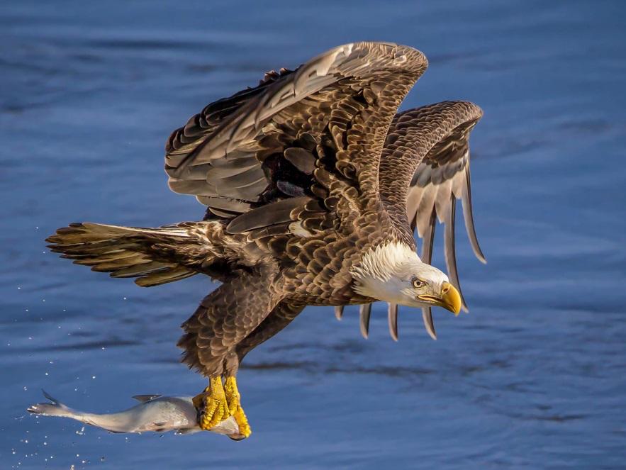 2017美国国鸟白头海鵰捕鱼打斗与美洲鹤摄影