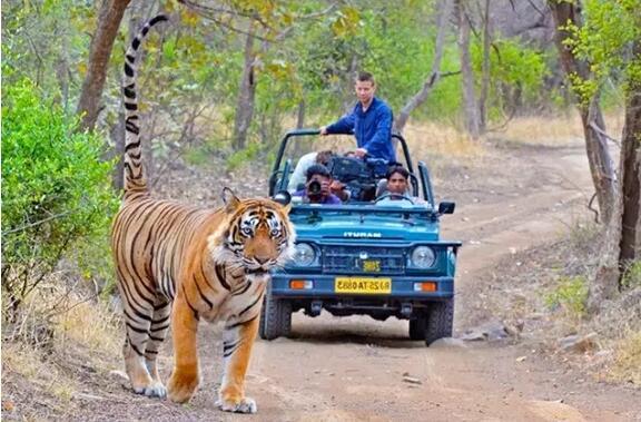 11月印度鸟类和孟加拉虎摄影之旅