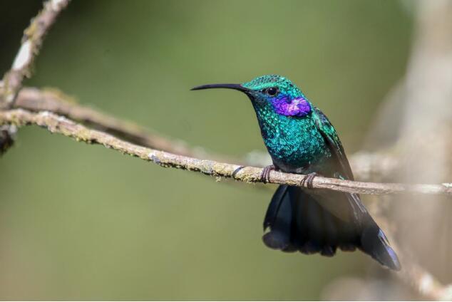 2018年16天哥斯达黎加拍鸟团